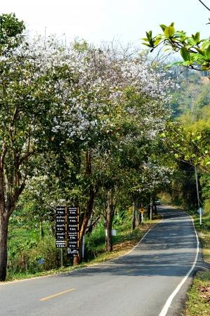 ebony tree: bauhinia purpurea tree blossoming over the road Stock Photo