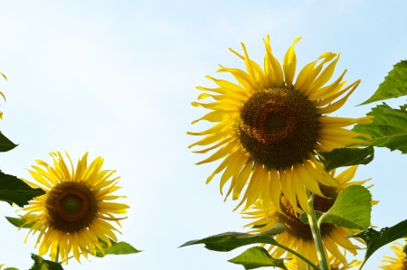 Beautiful sunflowers in the field Banco de Imagens