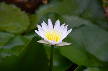 white lotus with green leaf