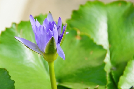 a blue lotus flower with green leaf in pond