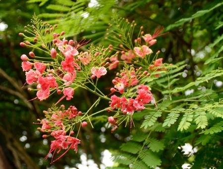 rain tree flower in nature background