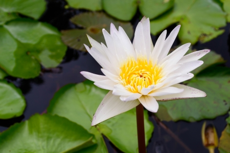 White lotus or water lily against the blue water and green leaves in Thailand Stock Photo