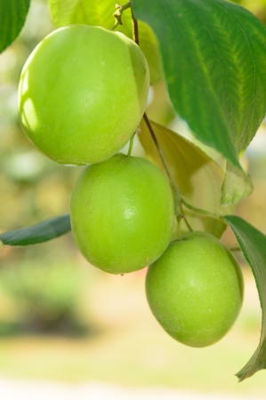 fresh jujube fruit hanging on tree in garden