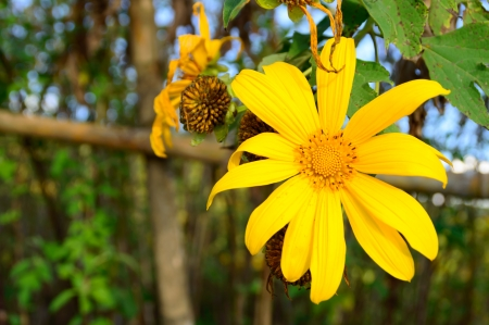 Mexican sunflower weed and nature background Stock Photo