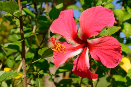 closeup of red hibiscus flowers in garden with nature background