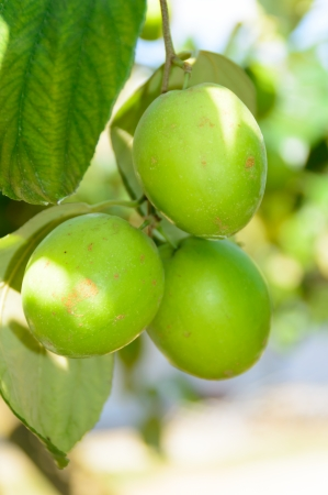 fresh jujube fruit hanging on tree in garden