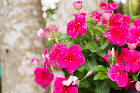 pink vinca flowers in nature