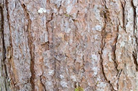 Bark of Pine Tree background Stock Photo