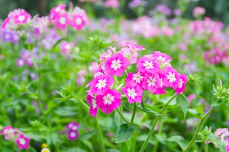 pink flowers in garden with nature background