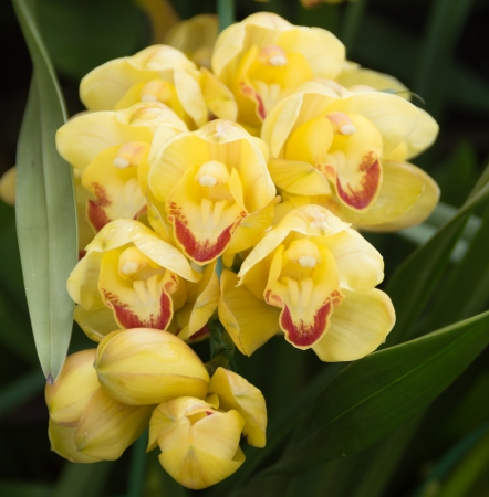 yellow cymbidium orchid in garden with nature background Stock Photo