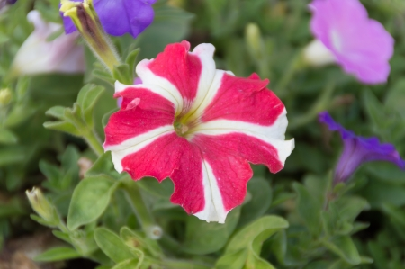 red and White Ruellia tuberosa in nature background Stock Photo