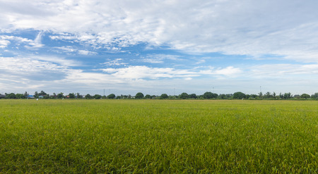 Rice field green grass blue sky cloudy landscape background