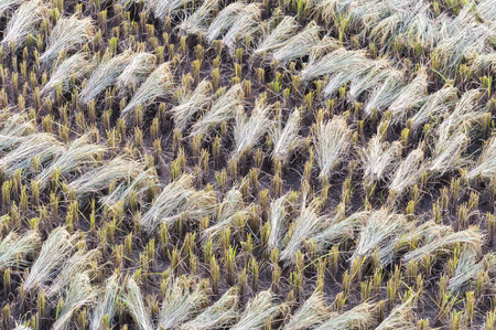 After  Harvest rice in Nan, Thailand Imagens