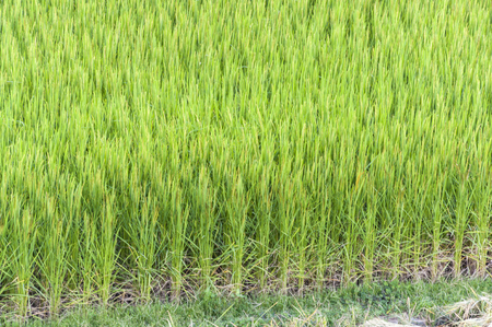 After Harvest rice in Nan, Thailand