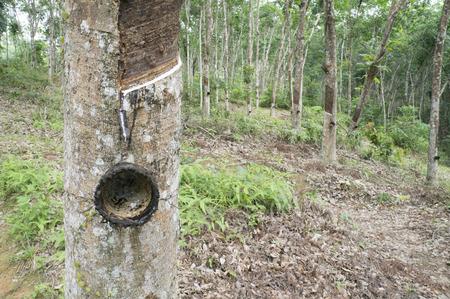 rubber tree in garden photo