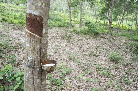 rubber tree in garden
