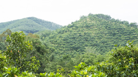 mountain view of rubber trees in south of Thailand