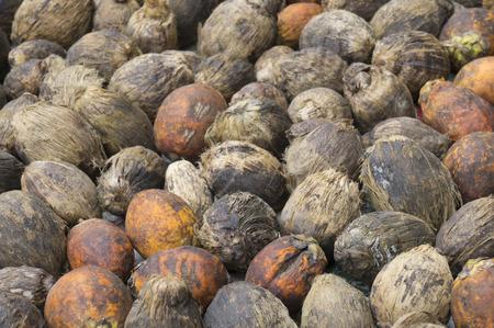 areca: betel nut or areca nut
