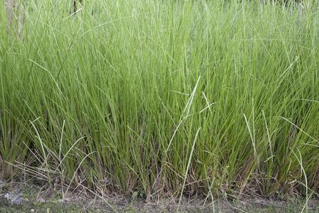 Vetiver Grass or Vetiveria zizanioides