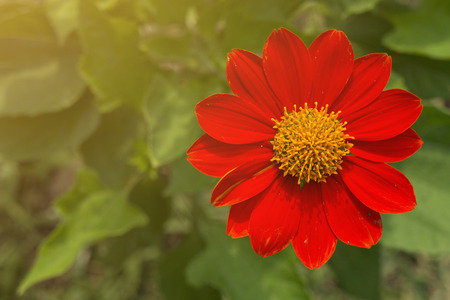 copyspace: Red flower and leaf behind with copy-space