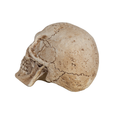 Human skull side view isolate on white background