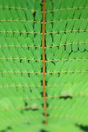 Beautiful closeup Tamarind Leaf