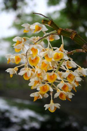 Wild orchid on summer, Thailand