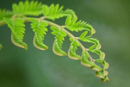 Beautiful closeup young Tamarind Leaf Stock Photo