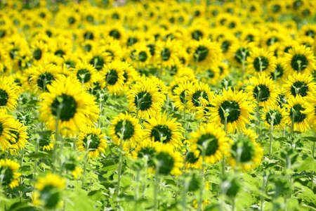 Back view of a beautiful sunflower in the field, Thailand Stock Photo