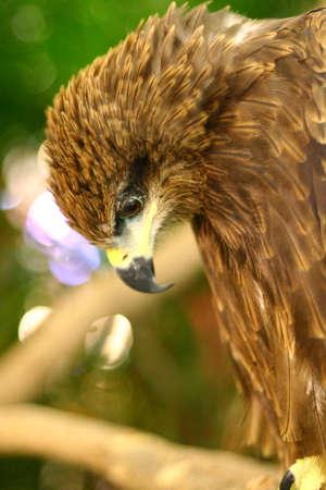 Beautiful portrait of hawk feather Stock Photo