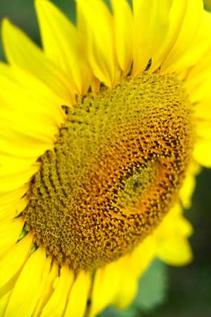 Portrait sunflower close-up Stock Photo