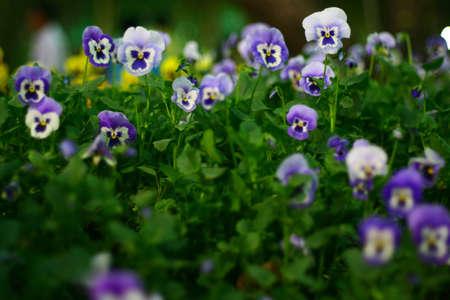 Flower bed full of pansy  flowers