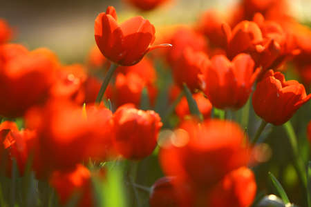 Red beautiful tulips field Stock Photo