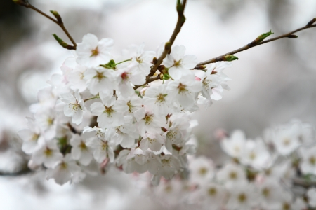 Beautiful Cherry blossom of a tree in spring time. Stock Photo