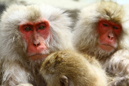 Japanese Macaque in natural hot bath in winter, Nagano Japan