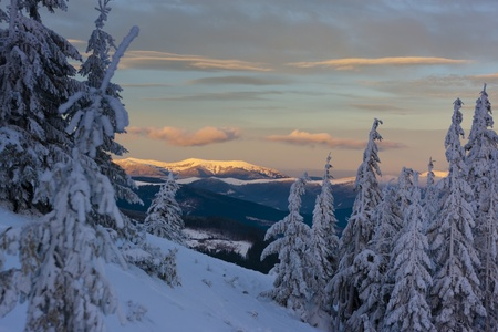 The fir trees covered by snow in the mountains. The sun is coming down. Carpathian mountains, Ukraine. photo