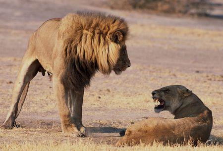 Maiting lions