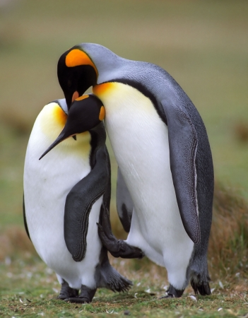 Two penguins in love on Folkland islands photo