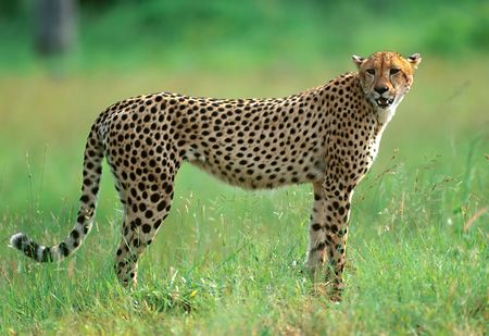 Hunting cheetah in national park of South Africa photo