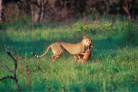 南アフリカ国立公園内に狩りヒョウ