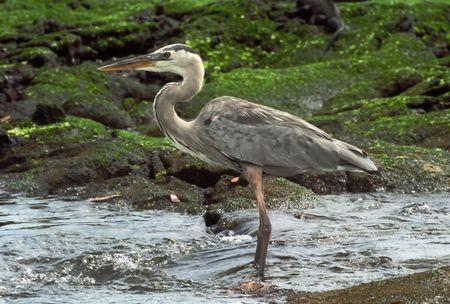 birdwatching: Grey galapagos egret in water