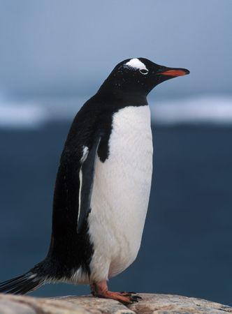 Gentoo penguin on Antarctica in summer day Stock Photo - 3762963