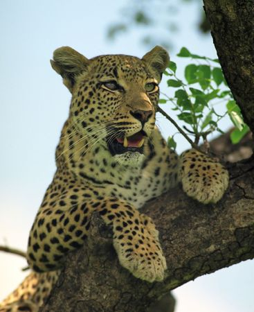 Leopard sitting on a tree branch in South Africa national park