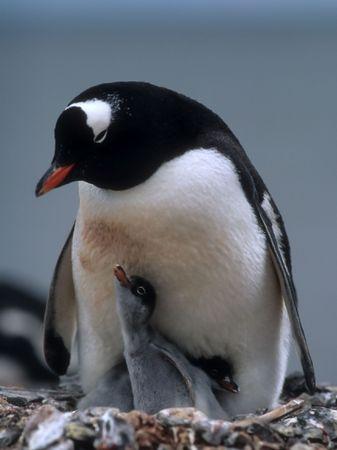 gentoo: Gentoo penguin with two chicks in antarctica