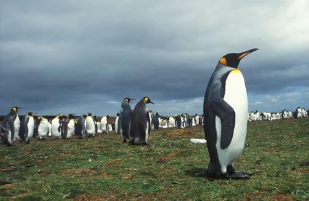 Colony king pinguins in Falkland islands photo