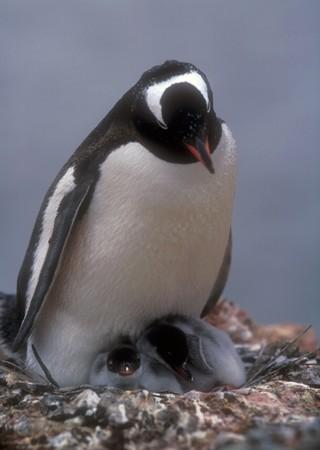 mam: Penguin gentoo mam with two chicks