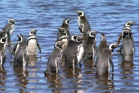 gentoo: Gruppo gentoo pinguini in acqua