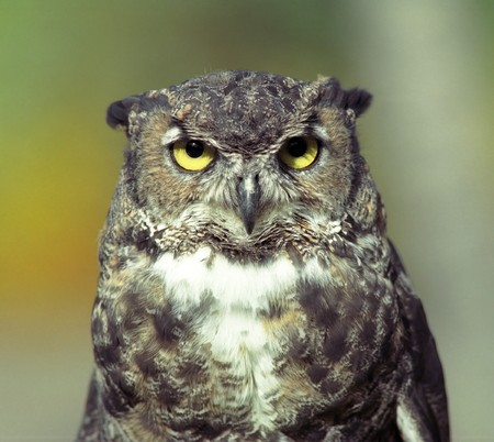Forest owl with yellow eyes photo