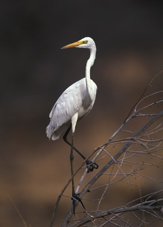 egret: Great white egret on the tree branch