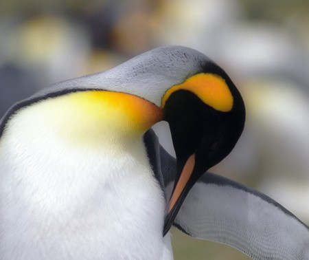 falkland: King penguin in Falkland islands Stock Photo